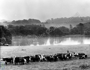 Cattle, Harewood Estate